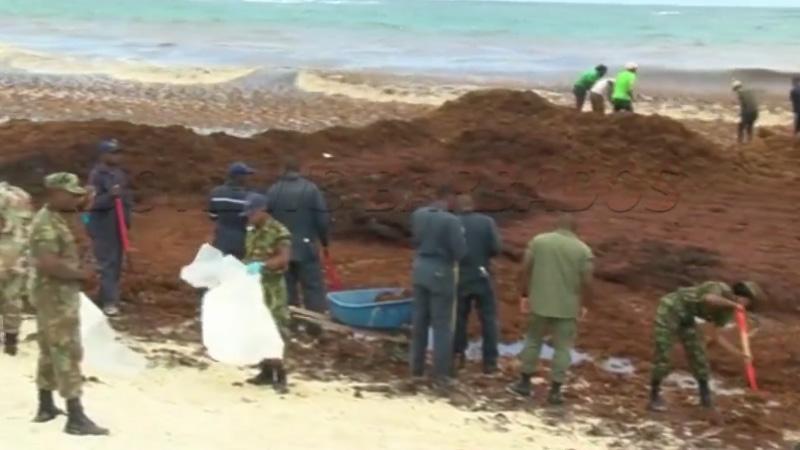 Barbade affronte seule le défi de l'invasion des sargasses