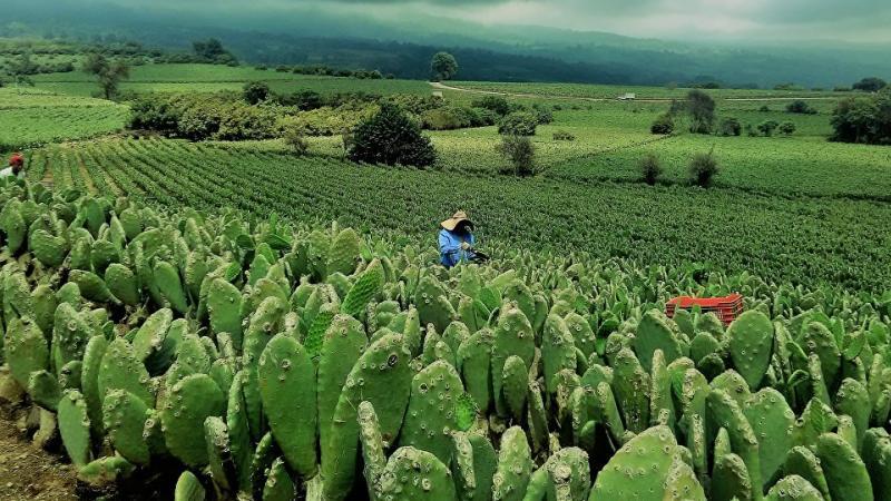Olvídate del petróleo, México inicia la era de la propulsión a base de cactus