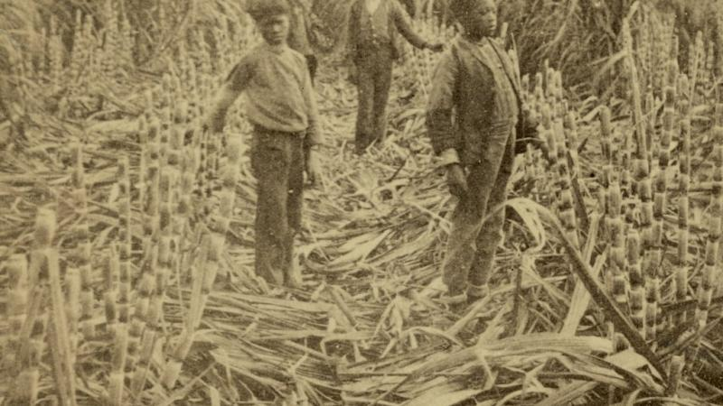 the sugar that saturates the merican diet has a barbaric history as the 'white gold' that fueled slavery.