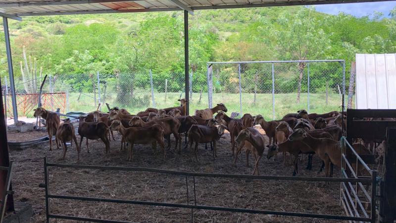 Aux Salines, un troupeau de moutons décimé par des pitt-bulls