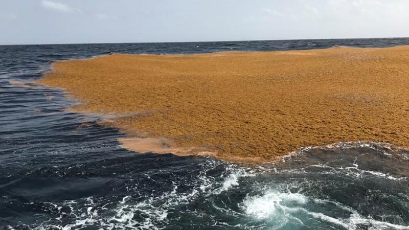 Pourquoi une nouvelle Mer des Sargasses étouffe les Antilles