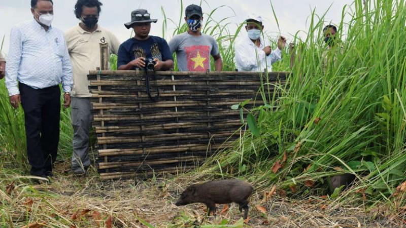 En Inde, une douzaine des plus petits porcs du monde relâchés dans la nature