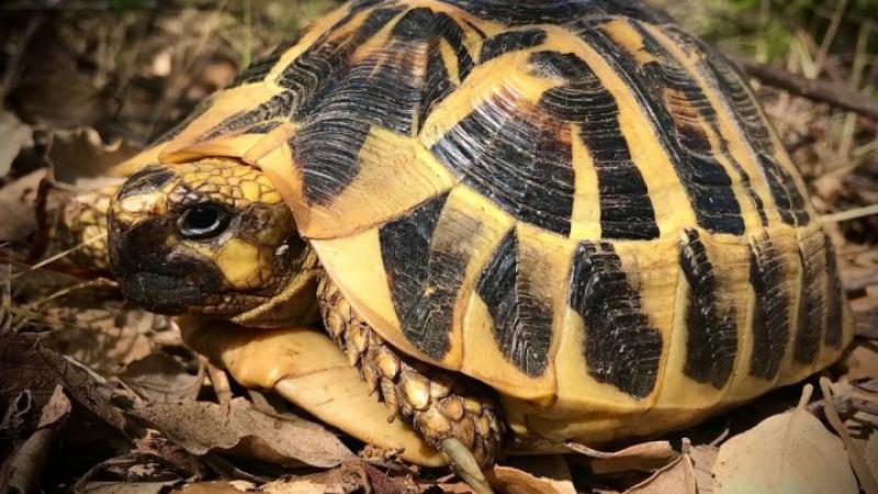 En Corse, la frénésie immobilière met en danger les tortues d'Hermann