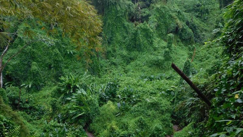 Histoire de l'invasion d'une plante introduite, Miconia calvescens, dans une île polynésienne, Tahiti