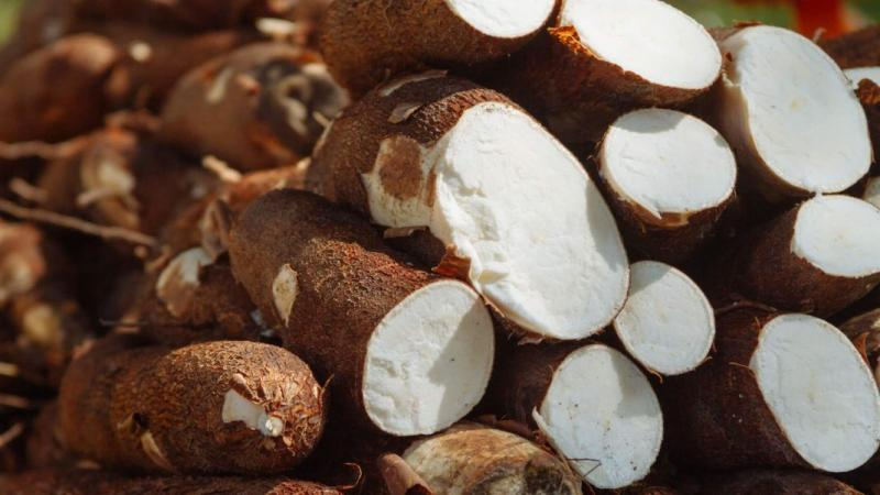 La ONU declara la mandioca como el alimento del siglo XXI