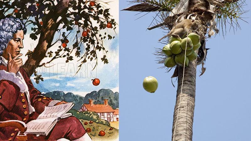 La noix de coco et la pomme-France