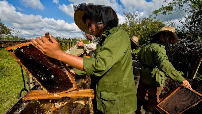 Les abeilles se portent à merveille à Cuba, grâce à l'embargo américain