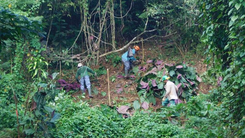 """Le """"cancer vert"""" qui menace les forêts de la Martinique"""
