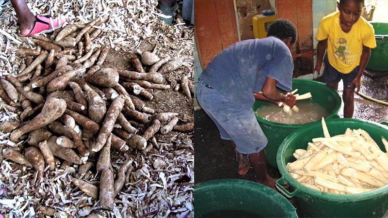 De la farine de manioc (suite)...