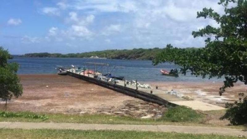 Antilles : Les algues sargasses gâchent le plaisir des vacanciers